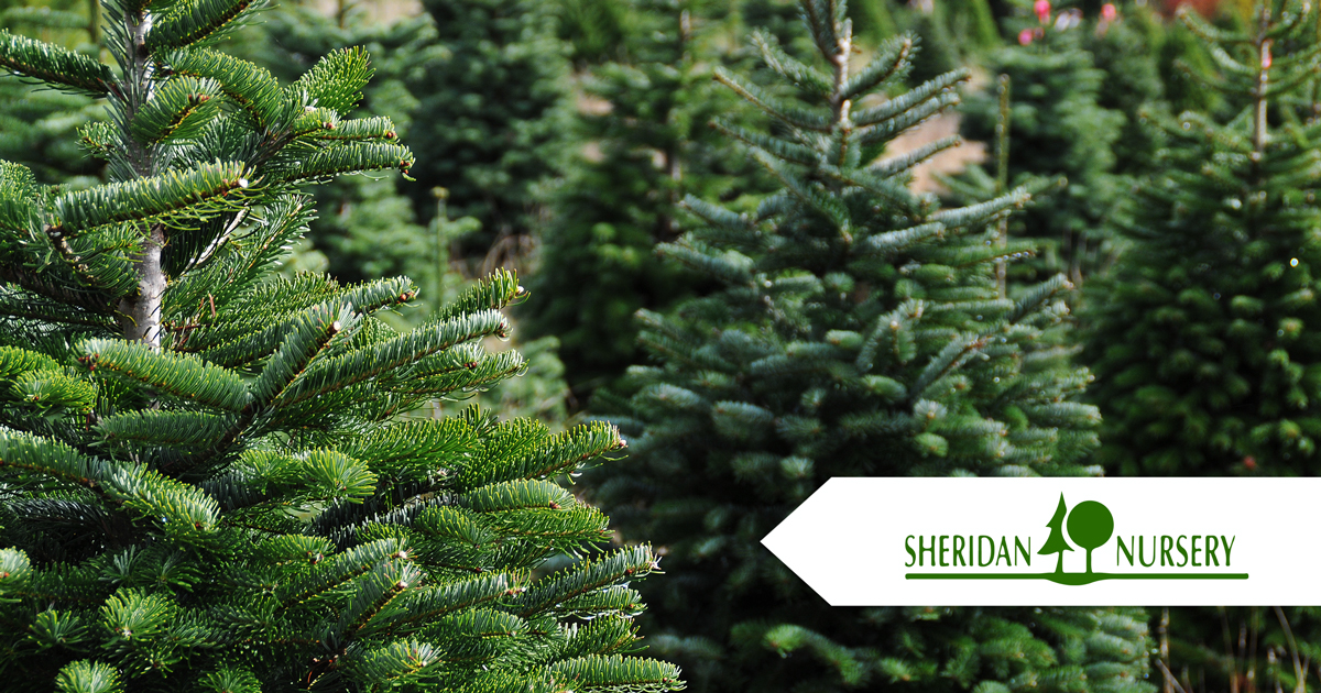 - Sheridan Nursery Of Peoria's Collection Of Live Christmas Trees